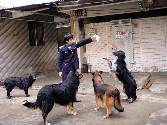 金钱龟场保安在训练护场的狼犬